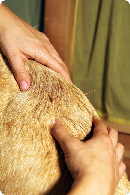 acupuncture-cheval-cabinet-veterinaire-animaux-albi-tarn